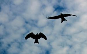 SoaringBirds